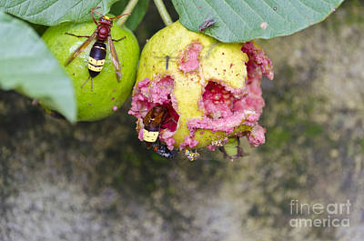 Insects Eating Guava Art Print