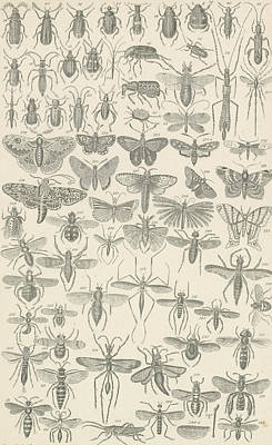 Grasshopper Drawing - Insects by English School