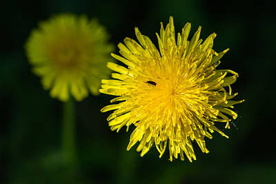 Insects On A Dandelion Flower - Featured 3 Art Print by Alexander Senin