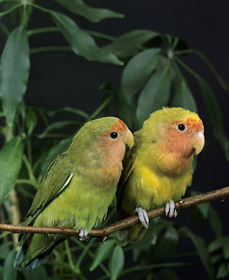 Rosy-faced Lovebird Photograph - Inseparable A Face Rose Agapornis by Gerard Lacz