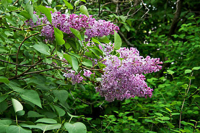 Photograph - Inside A Lilac Bush by Mary Lee Dereske