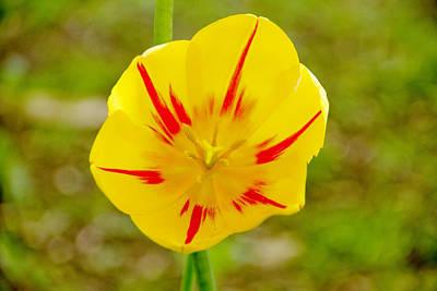 Ashlee Meyer Photograph - Inside A Yellow Tulip by Ashlee Meyer
