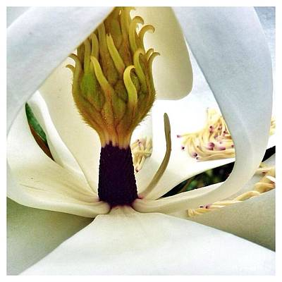 Photograph - Inside Magnolia by Susan Garren