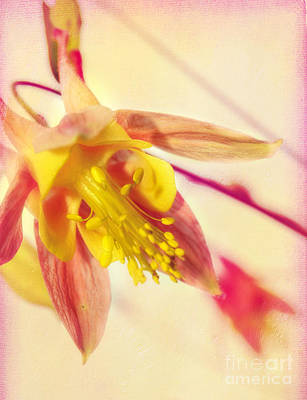 Photograph - Inside The Columbine Flower by Peggy Franz
