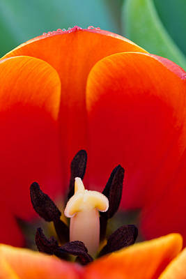 Photograph - Inside The Tulip by Teresa Hunt