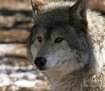 Inspired By Timber Wolf Art Print by Inspired Nature Photography Fine Art Photography