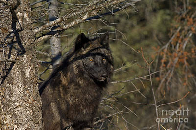Wolves Photograph - Intellectual  Pursuit by Wildlife Fine Art