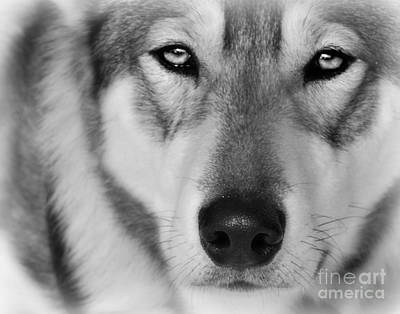 Intence Sled Dog Black And White Art Print