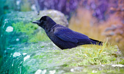 Photograph - Intent Crow by Adria Trail