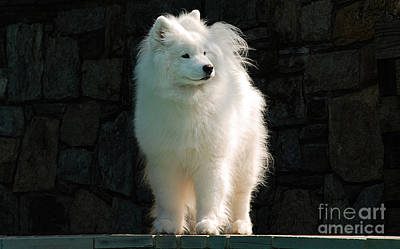 Samoyed Photograph - Intent by Lois Bryan