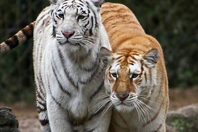 Photograph - Intent Tigers by Douglas Barnett