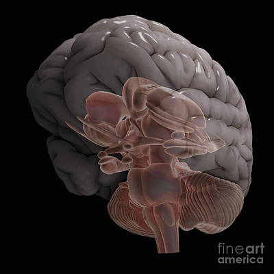Cerebral Hemisphere Photograph - Internal Brain Anatomy by Science Picture Co