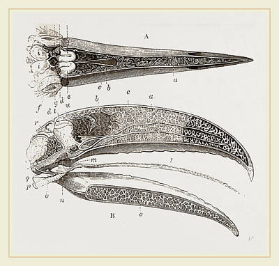 Toucan Drawing - Internal Structure Of Beak And Head Toucan by Litz Collection