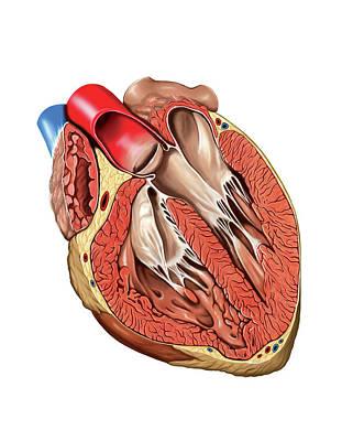 Internal View Of The Heart Art Print by Asklepios Medical Atlas