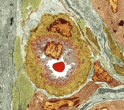 Intestinal Arteriole, Tem Art Print