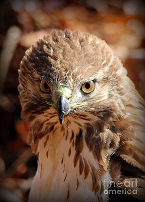 Red Shouldered Hawk Photograph - Intimidation That Works Red Shouldered Hawk  by Reid Callaway