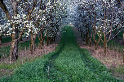 Photograph - Into The Cherry Orchard At Evening by Mary Lee Dereske