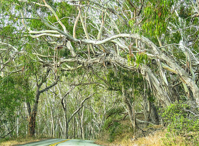 Photograph - Into The Eucalyptus Canopy by L J Oakes