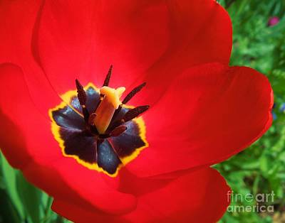 Photograph - Intricate Center Of Red Tulip by Heidi Manly