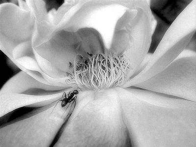 Print featuring the photograph Intrigue Rose In Black And White by Louise Kumpf