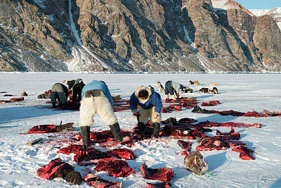 Anthropological Photograph - Inuit Hunters Butchering A Walrus by Louise Murray