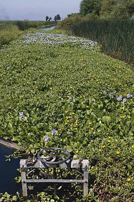 Photograph - Invasive Water Hyacinths by Richard Hansen