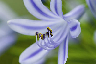 Blue Lily Of The Nile Photograph - Inviting Friends by Rich Franco