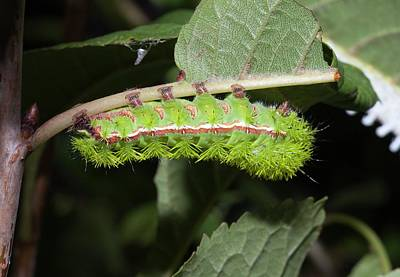 Ios Photograph - Io Moth Caterpillar by Dirk Wiersma