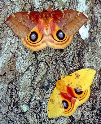 Io Moths Art Print