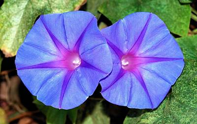 Photograph - Ipomoea Purple Flowers by Tracey Harrington-Simpson
