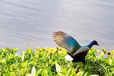 Beautiful Birds Photograph - Iridescent Color Of Purple Gallinule by Ellie Teramoto