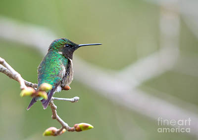 Photograph - Iridescent Male Hummingbird by Cheryl Baxter