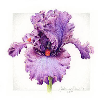 Floral Drawing - Iris 1 Asian Plum by Katherine Plumer