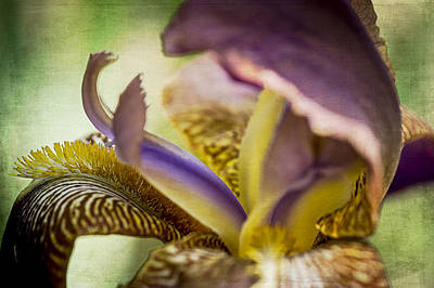 Photograph - Iris 1 by Wayne Meyer