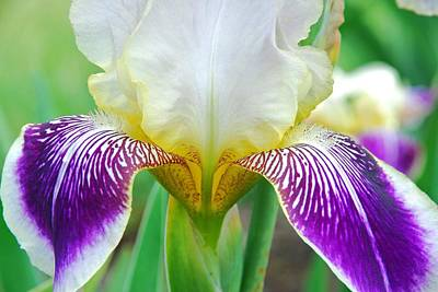 Photograph - Iris 11 by Allen Beatty