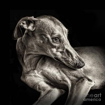 Greyhound Photograph - Iris 2 by Danilo Piccioni