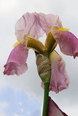 Photograph - Iris 25 Reaching For The Sky by Allen Beatty
