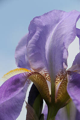 Photograph - Iris 26 Reaching For The Sky by Allen Beatty