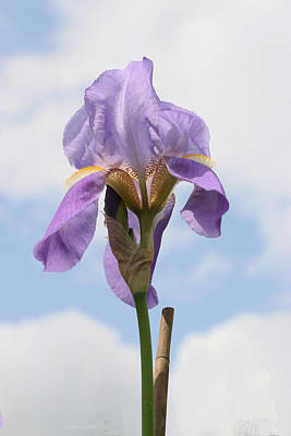 Photograph - Iris 27 Reaching For The Sky by Allen Beatty