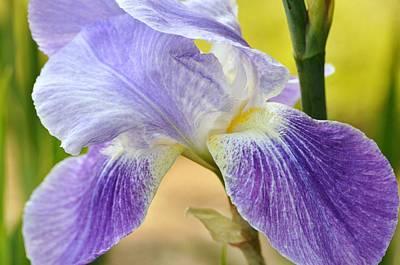 Photograph - Iris 33 by Allen Beatty