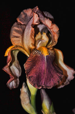 Robert Walker Photograph - Iris 5 by Robert Walker