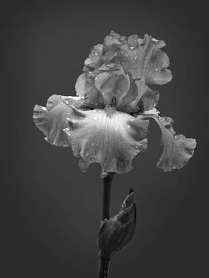 Photograph - Iris After The Rain by David and Carol Kelly