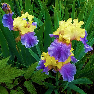 Photograph - Iris After The Rain by Liz Evensen
