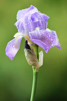 Photograph - Iris After The Rain by Trina  Ansel