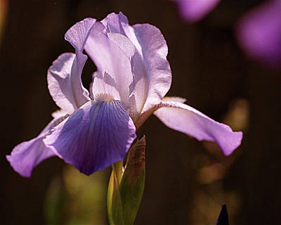 Iris Aglow Print by Rona Black