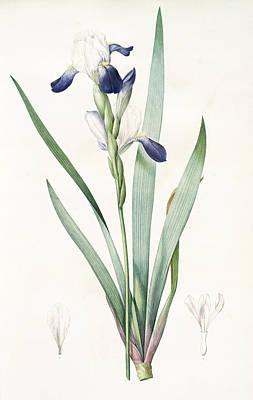 Iris Drawing - Iris Amoena, Iris Hybrida Iris Agréable, Bearded Iris by Artokoloro