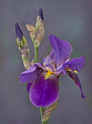 Photograph - Iris And Company by Susan Candelario