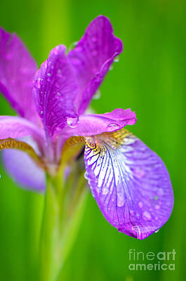 Photograph - Iris And Raindrops by Amy Porter