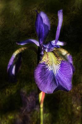 Iris Baroque Original