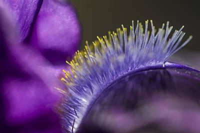 Iris Beard Art Print